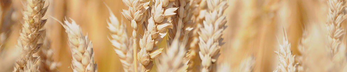 Wheat Inside Banner