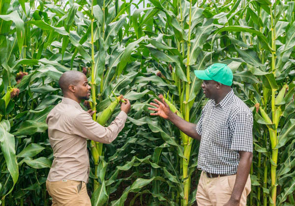 A maize bumper harvest is upon us - Let's Prepare! | Seed Co Zimbabwe